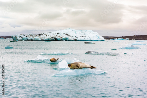 a seal relaxing on a floating iceberg on the Jokulsarlon glacier lake in Iceland Fototapet