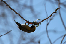 The Southern Masked Weaver (Ploceus Velatus), Or African Masked Weaver Starting To Make A Nest