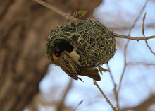 The Southern Masked Weaver (Ploceus Velatus), Or African Masked Weaver With His Hanging Nest