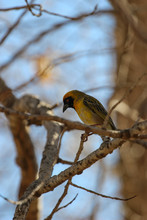 The Southern Masked Weaver (Ploceus Velatus), Or African Masked Weaver