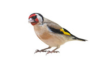 European Goldfinch (Carduelis ...