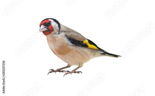 Fototapeta European Goldfinch (Carduelis carduelis) isolated on White Background