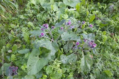 Fotomural flowering green burdock on a summer day