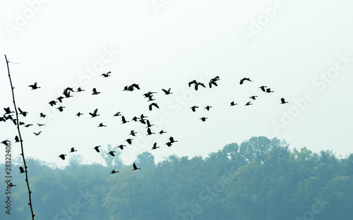 Obraz Flock of migrating birds flying together as a group in against blue sky over lake in an imperfect V formation. Namdapha National Park, Arunachal Pradesh. Happy symbol of liberty and freedom background - fototapety do salonu