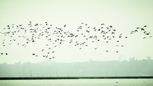 Flock Of Cormorant Shag Birds ...