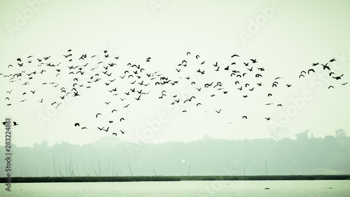 Poster de jardin Oiseau Flock Of Cormorant Shag Birds Flying Over Lake In Winter. Migratory waterfowl fly on their way back to their nesting places, the day about to end in Evening. Rudrasagar Lake Neermahal Agartala Tripura