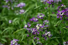 Purple And And White Alyssum Flowers On Flower Bed