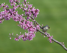 Tufted Titmouse Perched In Purple Blossoms With Worm In Its Beak