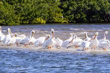 Flock Of Wild White Pelicans Rest On Sandbar