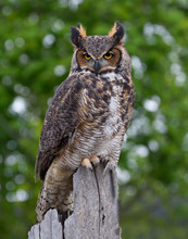 Great Horned Owl Perched