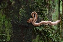 Eyelash Viper (Bothriechis Schlegelii) In Costa Rica