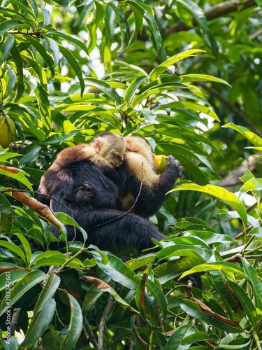 Photo capuchin monkey (Cebus capucinus) with baby, taken in Costa Rica