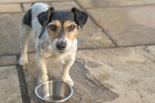 Cute Little Dog Is Standing In Front Of An Empty Bowl And Is Thirsty. Jack Russell Terrier 10 Years Old
