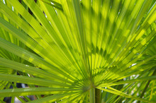 Serenoa Repens Saw Palmetto Palm Leaves