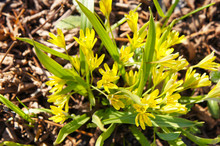 Gagea Villosa Or Hairy Star Of Bethlehem Yellow Flowers