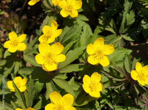 Canvas Print Anemone ranunculoides or buttercup anemone early yellow flowers
