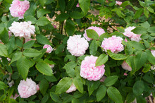 Rose Flowers Pink Jacques Cartier On Shrub