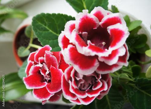 Cuadros en Lienzo Gloxinia brocade double red flowers