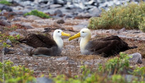 Obraz na plátně  Albatross bird taken on Galapagos islands