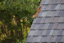 Red Squirrel On Shed Roof