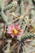 Casually Described As Pencil Cholla, Phytogenically Labeled Cylindropuntia Ramosissima, This Native Of Southern Mojave Desert Plant Communities In Joshua Tree National Park Blooms During Early Summer.