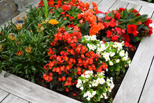 Summer Flowerbed With Begonias