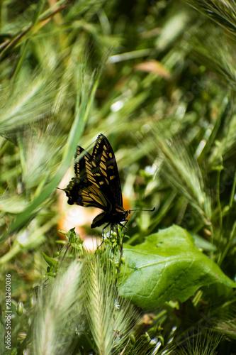 Butterfly Side Profile