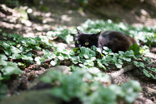 Black Cat On The Hunt In The Forest. Domestic Cat Crouching On The Ground Observing Prey On A Sunny Day