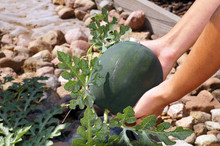 A Tiny Watermelon In A Woman's Hand. Scene From The Garden.