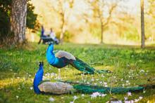Peacocks In Bagatelle Park Of Bois De Boulogne In Paris