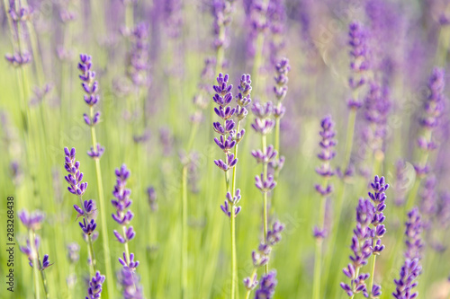 Fototapety, obrazy: Lavender flowers. Lavender blooms. Aromatic herbs and medicinal plants in the garden. Floral background.