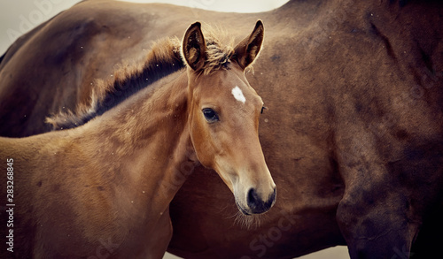 Canvas-taulu Portrait of a red foal sporting breed
