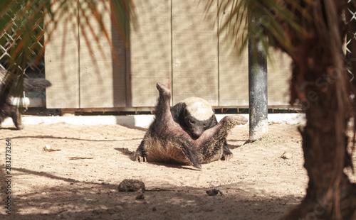 Fotografie, Tablou Funny spread legged Honey badger Mellivora capensis