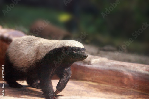 Tablou Canvas Honey badger Mellivora capensis is known for being tough