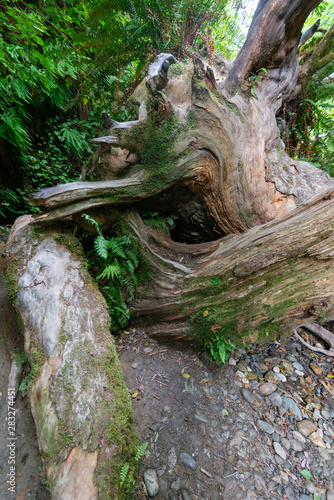 naturally abstract oddity in a Redwood Forest! Fototapet
