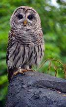 The Barred Owl (Strix Varia), ...