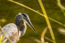 Side Portrait Of One Great Blue Heron Standing In The Pond Behind Tall Grasses On A Sunny Day