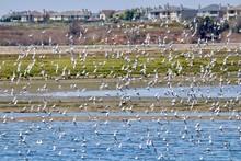 Flock Of Willet Birds At Bolsa...
