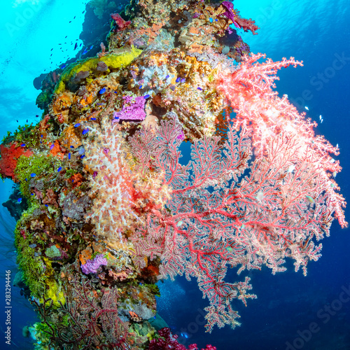 Fototapety, obrazy: Pink Soft Coral On A Vertical Mast In Shallow Blue Water