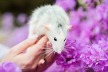 Fancy Rat In Purple Azalea Blossom, Chinese New Year 2020