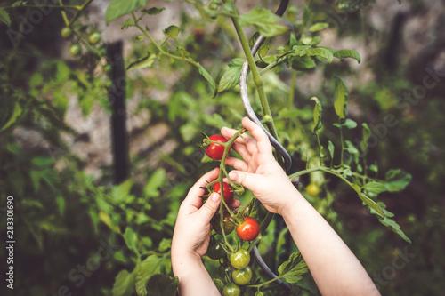 Photo enfant cueille des tomates