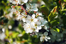 Wild Plum Tree Blossom Close U...