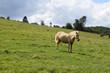 helles Pony
