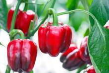 Close Up Ripe Red Bell Pepper In Greenhouses Farming