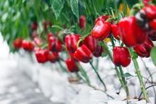 Close Up Ripe Red Bell Pepper ...