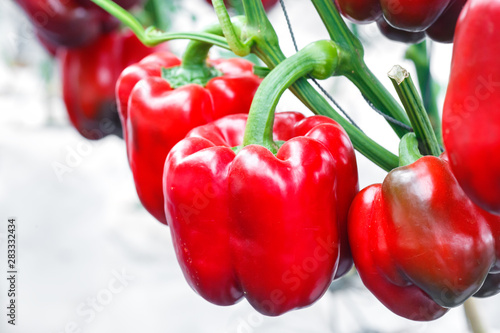 close up ripe red bell pepper in greenhouses farming - 283332434