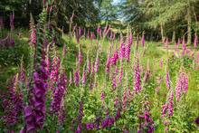Blossom Fox Glove Meadow At Br...