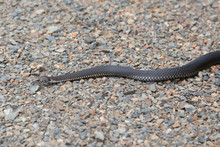 Alpine Copperhead Snake