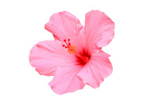 Hawaiian Hibiscus Flower Isola...