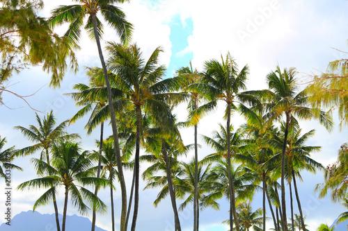 Hawaiian palm tree